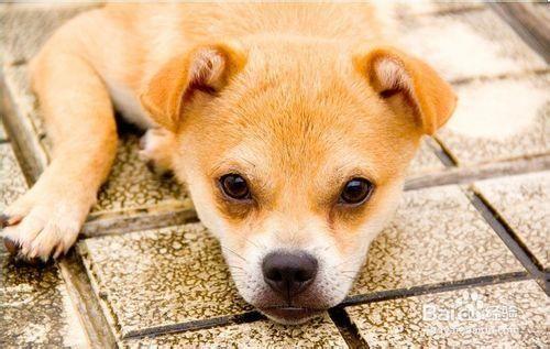 狗狗关节炎的症状及治疗方法